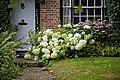 Hydrangea arborescens in Nuthurst, West Sussex.jpg
