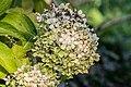 Hydrangea paniculata cultivated in Cantal 03.jpg