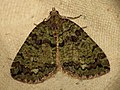 Hydriomena furcata (9282468040).jpg