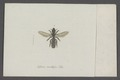 Hylaeus - Print - Iconographia Zoologica - Special Collections University of Amsterdam - UBAINV0274 045 11 0002.tif