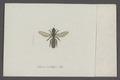 Hylaeus - Print - Iconographia Zoologica - Special Collections University of Amsterdam - UBAINV0274 045 11 0002.tif