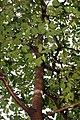 Hymenaea courbaril 18zz.jpg