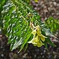 Hyoscyamus albus-IMG 9339.jpg