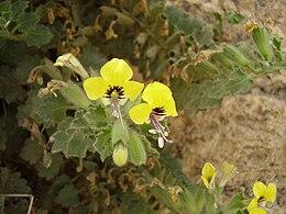 Hyoscyamus aureus flower a RJP