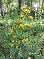 Hypericum hirsutum sl2.jpg