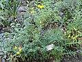 Hypericum kalmianum - Botanischer Garten, Frankfurt am Main - DSC02523.JPG