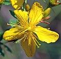 Hypericum pulchrum - blossom (aka).jpg