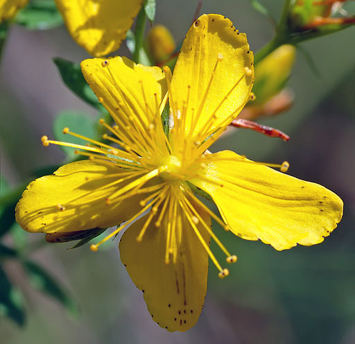 Hypericum pulchrum - blossom (aka)