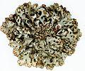 Hypogymnia physodes-2.jpg