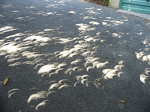 ภาพแสงจากดวงอาทิตย์ขณะเกิดสุริยุปราคาบางส่วนผ่านใบไม้