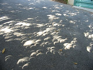 [eclipse viewed through leaves]
