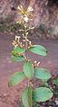 Ichnocarpus frutescens 02.JPG