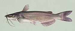 Ictalurus punctatus.jpg blue catfish Channel Catfish – (Ictalurus punctatus) 250px Ictalurus punctatus