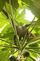 Iguana delicatissima in Picard, Dominica-2012 03 06 0536.jpg