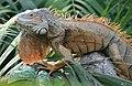 Iguana iguana (6337090839).jpg