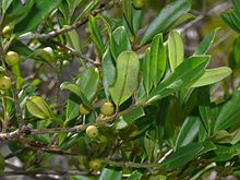 Ilex cassine leaves and immature fruits