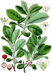 Ilex paraguariensis - Köhler–s Medizinal-Pflanzen-074