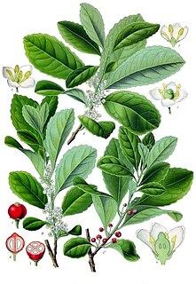 Aquifoliales order of plants
