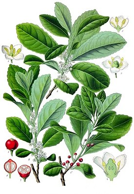 Mate-Strauch, (Ilex paraguariensis), Illustration.