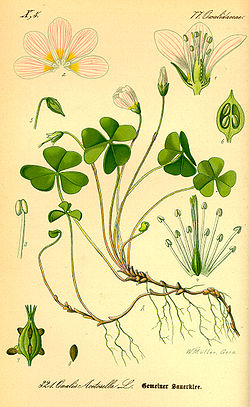 Illustration Oxalis acetosella0.jpg