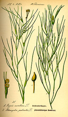 Illustration Ruppia maritima0.jpg
