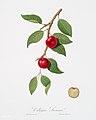 Illustration from Pomona Italiana Giorgio Gallesio by rawpixel00017.jpg