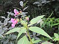 Impatiens sulcata - Gigantic Himalayan Balsam on way from Gangria to Hemkund at Valley of Flowers National Park - during LGFC - VOF 2019 (1).jpg