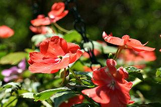 <i>Impatiens walleriana</i> species of plant