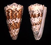 Imperial Cone - Conus imperialis.shell001