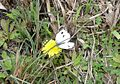 Indian Cabbage White. Pieris canidia indica - Flickr - gailhampshire.jpg