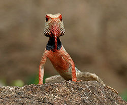 Indian Garden Lizard (Calotes versicolor) in AP W IMG 9906.jpg
