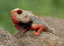Indian Garden Lizard (Calotes versicolor) in AP W IMG 9921.jpg