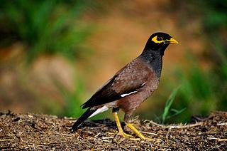 Common myna Bird of the family Sturnidae