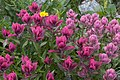 Indian and Hayden's paintbrushes (200067060).jpg