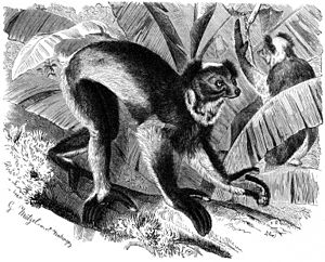 """Indri - A lithograph of """"Indris indris,"""" (Brehms Tierleben)"""