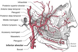 Inferior alveolar artery - Image: Inferior alveolar artery