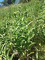 Inula germanica sl1.jpg
