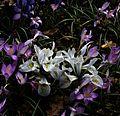 Iris Katherine Hodgkin type A - Flickr - peganum.jpg
