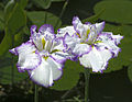 Iris ensata, 'Arctic Fancy' cultivar (Chanticleer Garden) Draft of edition.jpg