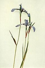 Iris prismatica WFNY-027.jpg