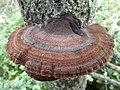 Ischnoderma benzoinum 40318960.jpg