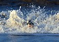Jack Russell - Eddi - panoramio (1).jpg