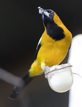 Jamaican-oriole-perched.jpg