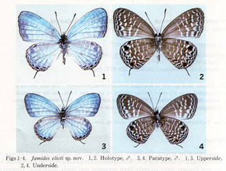 Type (biology) - A gossamer-winged butterfly, Jamides elioti: 1) dorsal and 2) ventral aspect of holotype, 3) dorsal and 4) ventral aspect of paratype