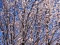 Japanese Cherry Trees in Bloom - Kitsilano - Vancouver - BC - Canada (8606800191).jpg