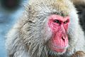 Japanese Macaque Fuscata Image 370.jpg