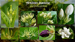Jasminum sambac - various Flower stages
