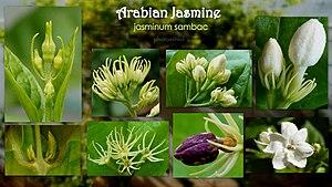 Jasminum sambac - various Flower stages