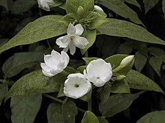 Jasminum sambac1SHSU