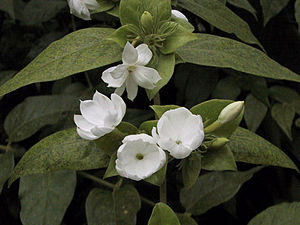 Jasminum sambac - Arabian jasmine in soft shade